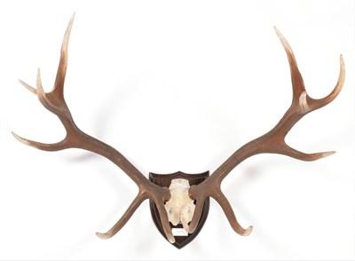 Lot 33 - Antlers/Horns: Shou Deer (Cervus elaphus wallichi), Southern Tibetan Highlands & Bhutan, large...