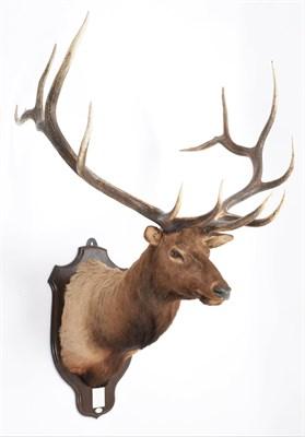 Lot 34 - Taxidermy: North American Wapiti or Elk (Cervus canadensis nelsoni), circa 20th century, Stoney...