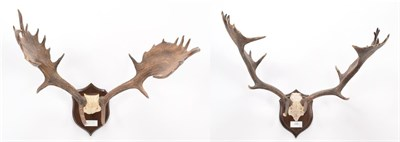 Lot 36 - Antlers/Horns: European Fallow Deer Antlers (Cervus dama dama), circa 1891, Petworth, Sussex, adult