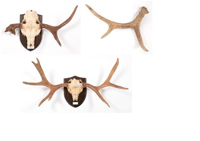 Lot 37 - Antlers/Horns: Russian Elk (Alces alces cameloides), young adult bull antlers on cut upper...