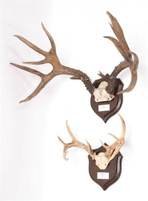 Lot 38 - Antlers/Horns: Mule Deer & Keys Deer, North America, adult Mule Deer antlers on cut upper skull...