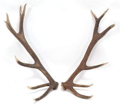 Lot 41 - Antlers/Horns: Hungarian Red Deer Cast Antlers (Cervus elaphus hippelaphus), a large pair of...