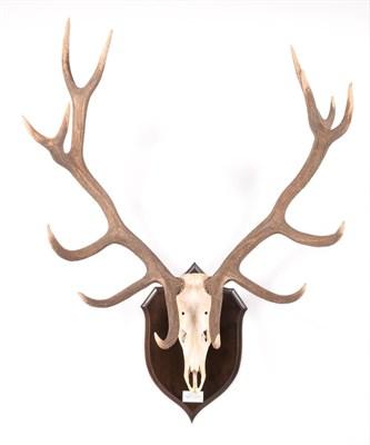 Lot 44 - Antlers/Horns: European Red Deer (Cervus elaphus hippelaphus), circa 1964, Crimean Peninsula,...