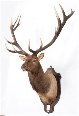 Lot 45 - Taxidermy: North American Wapiti or Elk (Cervus canadensis nelsoni), dated 1966, a monumental adult