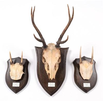 Lot 47 - Antlers/Horns: Pampas Deer (Ozotoceros bezoarticus celer), dated 1911, Uruguay, South America,...