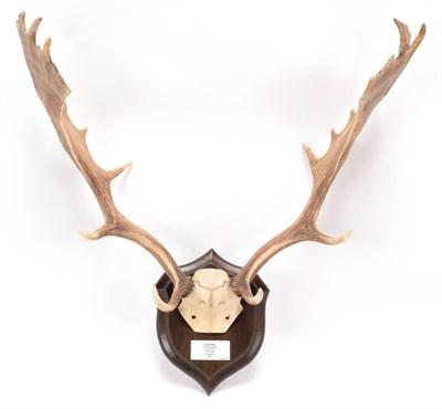 Lot 48 - Antlers/Horns: European Fallow Deer (Cervus dama dama), dated 1980, Boldre Wood, New Forest,...