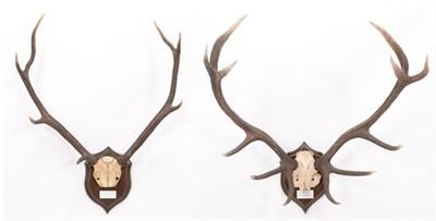 Lot 51 - Antlers/Horns: Scottish Red Deer (Cervus elaphus scoticus), dated 2003, Ardnave, Loch Gruinart,...