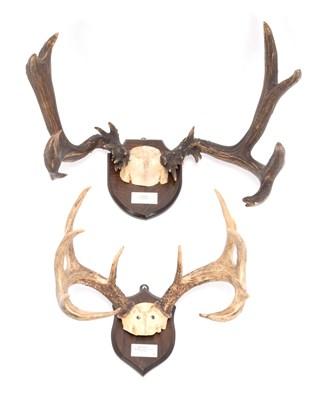 Lot 52 - Antlers/Horns: Abnormal Mule Deer & White-Tailed Deer, North America, large abnormal Mule deer stag