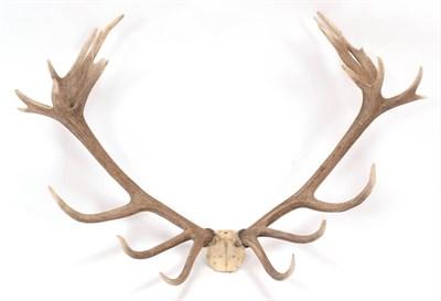 Lot 54 - Antlers/Horns: Central European Red Deer (Cervus elaphus hippelaphus), a large set of adult...