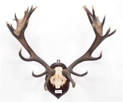 Lot 58 - Antlers/Horns: Central European Red Deer (Cervus elaphus hippelaphus), Early Warnham Park Head,...