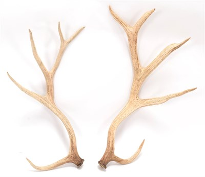 Lot 60 - Antlers/Horns: A Matched Pair of White-Lipped or Thorold's Deer Antlers (Cervus albirostris),...