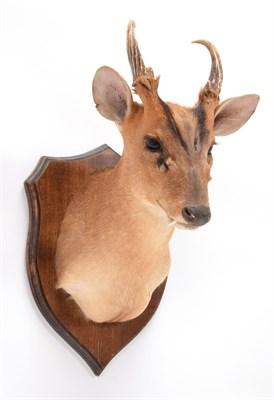 Lot 62 - Taxidermy: Muntjac Deer (Muntiacus muntjak), modern, by Colin Dunton, Taxidermy, Marlborough,...