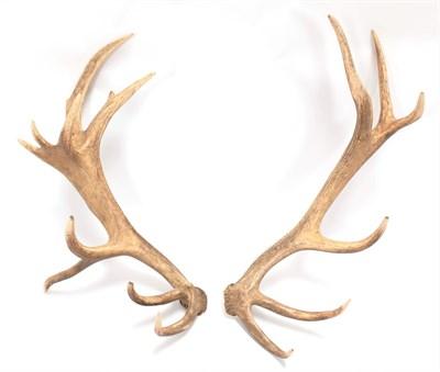 Lot 64 - Antlers/Horns: Central European Red Deer Cast Antlers (Cervus elaphus hippelaphus), a large pair of