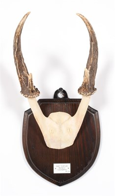 Lot 66 - Antlers/Horns: Giant Muntjac (Muntiacus vuquangensis), Vietnam, adult buck antlers on cut upper...