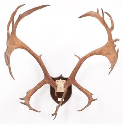 Lot 67 - Antlers/Horns: Newfoundland Caribou (Rangifer tarandus goenlandicus), circa early 20th century,...