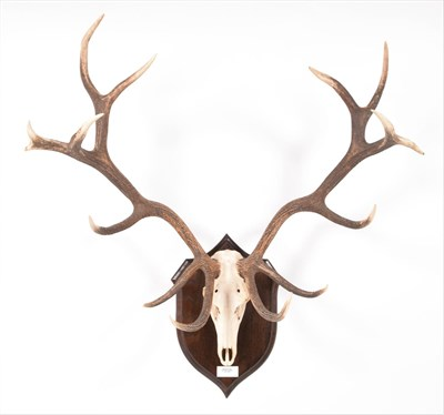 Lot 68 - Antlers/Horns: Hungarian Red Deer (Cervus elaphus hippelaphus), circa 20th century, Hungary,...