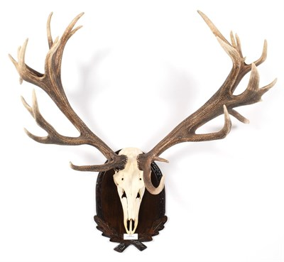 Lot 69 - Antlers/Horns: European Red Deer (Cervus elaphus hippelaphus), 20th century, impressive adult...