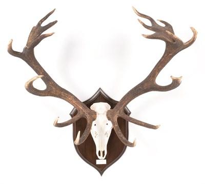 Lot 70 - Antlers/Horns: European Red Deer (Cervus elaphus hippelaphus), 20th century, Warnham park,...