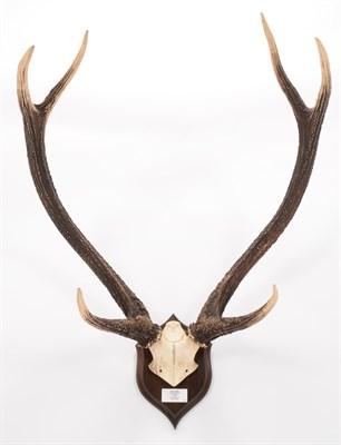 Lot 71 - Antlers/Horns: Indian Sambar (Cervus unicolor unicolor), dated October 1928, taken by G.D....