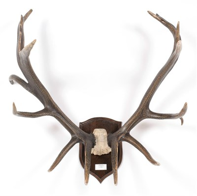 Lot 72 - Taxidermy: North American Wapiti or Elk (Cervus canadensis roosevelti), dated 1885, North Vancouver