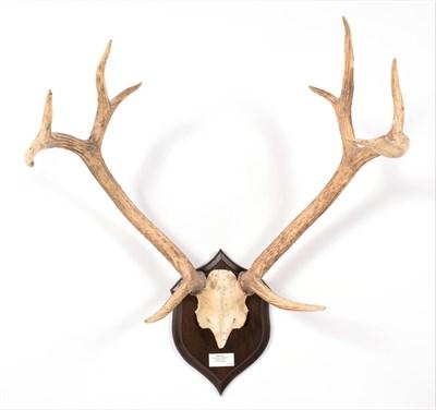 Lot 73 - Antlers/Horns: Swamp Deer or Barasingha (Rucervus duvaucelii duvaucelii), South West Nepal,...