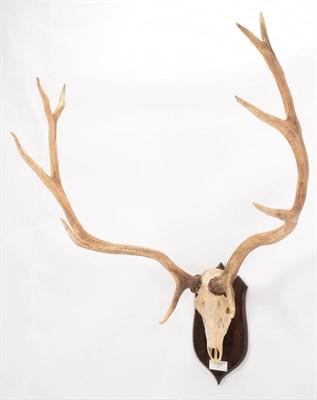 Lot 74 - Antlers/Horns: Thorold's or White-Lipped Deer (Cervus arbirostris), date 1988, Eastern Tibetan...
