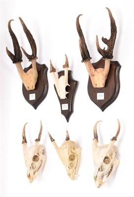 Lot 77 - Antlers/Horns: A Collection of Javan & Common Muntjac Deer, two sets of adult male Javan...