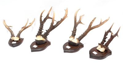 Lot 79 - Antlers/Horns: A Collection Roebuck Antlers, a large set of adult Siberian Roebuck antlers on...