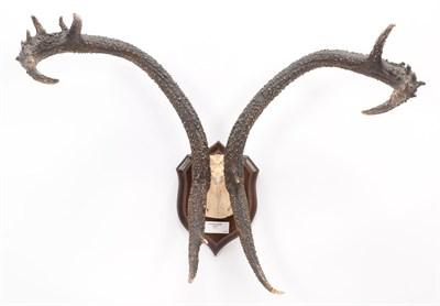 Lot 83 - Antlers/Horns: Eld's Deer (Rucervus eldii), circa 1900, Burma, adult stag antlers on cut upper...