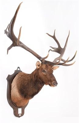 Lot 84 - Taxidermy: North American Wapiti or Elk (Cervus canadensis nelsoni), circa 1891, Montana, USA,...