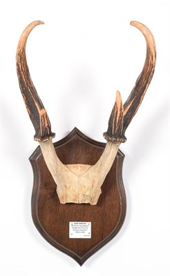 Lot 85 - Antlers/Horns: Giant Muntjac (Muntiacus vuquangensis), Vietnam, Brought back from the Discovery...