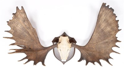 Lot 86 - Antlers/Horns: North American Moose (Alces alces), circa late 19th century, Alaska, very large...