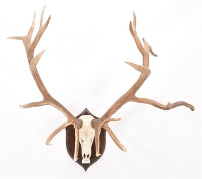 Lot 87 - Antlers/Horns: Mongolian Red Deer (Cervus elaphus sibiricus), very large adult stag antlers on...