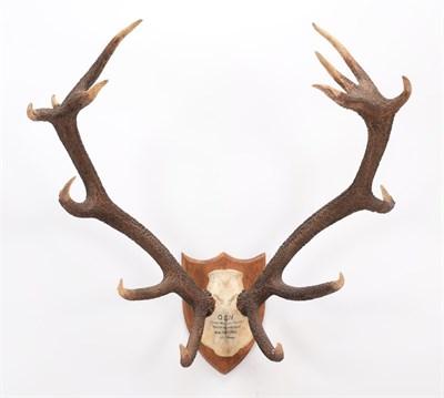 Lot 88 - Antlers/Horns: Central European Red Deer (Cervus elaphus hippelaphus), dated August 28th 1964,...