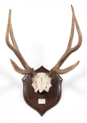 Lot 89 - Antlers/Horns: Pampas Deer (Ozotoceros bezoarticus celer), Argentina, South America, adult stag...