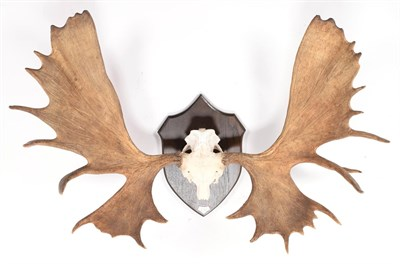 Lot 90 - Antlers/Horns: Alaskan Moose (Alces alces gigas), dated September 26th 1964, Stikine River, British