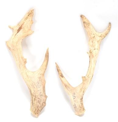 Lot 92 - Antlers/Horns: A Pair of Persian Fallow Deer Antlers (Dama dama mesopotamica), a pair of loose...