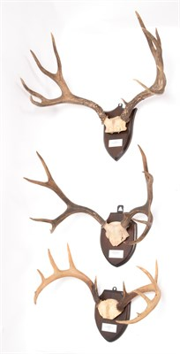 Lot 95 - Antlers/Horns: Colombian Blacktail, Mule & Coues Deer, North America & Canada, adult Colombian...