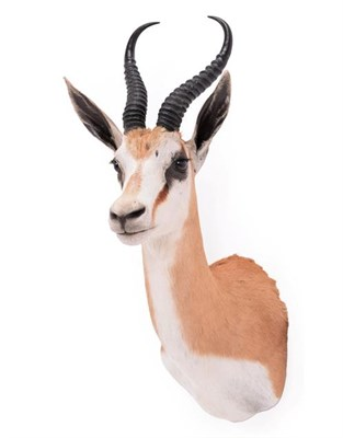 Lot 5 - Taxidermy: South African Springbok (Antidorcas marsupialis), modern, high quality shoulder...