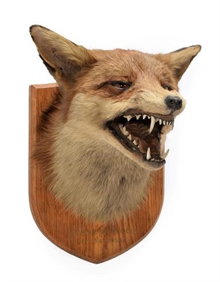 Lot 8 - Taxidermy: European Red Fox Mask (Vulpes vulpes), dated December 31st 1958, Quendon Wood, by Army &