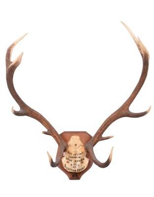 Lot 10 - Antlers/Horns: European Red Deer (Cervus elaphus) dated Oct 15th 1932, Devon & Somerset hounds....