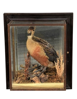 Lot 12 - Taxidermy: A Cased Australian Whistling Duck and Widgeon, circa late 20th century, a full mount...