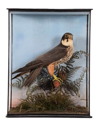 Lot 13 - Taxidermy: A Late Victorian Cased Northern Hobby ( Falco subbuteo), dated 1905, a full mount...