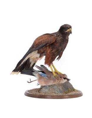 Lot 17 - Taxidermy: Harris's Hawk (Parabuteo unicinctus), circa early 21st century, captive bred, by...
