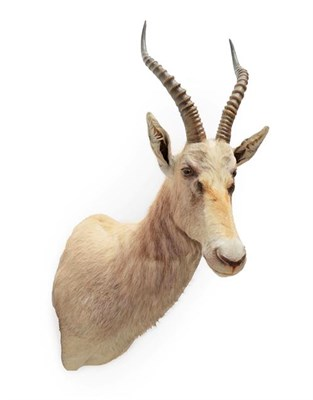Lot 19 - Taxidermy: White Blesbok (Damaliscus pygargus phillipsi), modern, South Africa, a high quality...