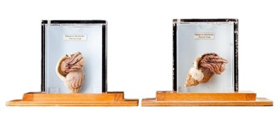 Lot 21 - Natural History: A Pair of Hermit Crab Wet Specimens (Eupagurus bernhardus), modern, each contained