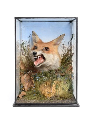 Lot 22 - Taxidermy: A Victorian Cased Red Fox Head Mount (Vulpes vulpes), by James Gardner, 29, Late...