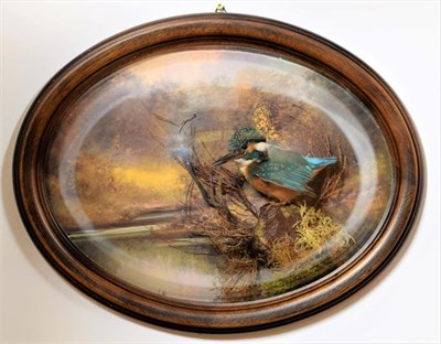 Lot 24 - Taxidermy: A Wall Domed European Kingfisher (Alcedo athis), circa late 20th century, a superb...