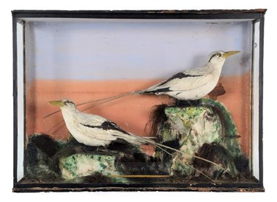 Lot 26 - Taxidermy: A Late Victorian Cased Pair of White-Tailed Tropicbirds (Phaethon lepturus), a pair...
