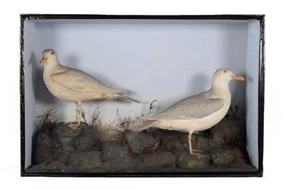 Lot 32 - Taxidermy: A Large Cased Pair of Glaucous Gulls (Larus hyperboreus), dated 22nd February 1895,...